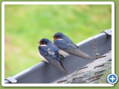 2 swallows on roof